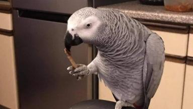 Forest : un perroquet est kidnappé lors d'un cambriolage