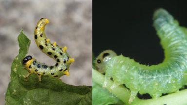 Des chercheurs convertissent l'odeur des insectes en sons pour les tester sur des humains