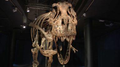Trix, une T-Rex de 67 millions d'années, débarque au Museum des Sciences naturelles